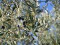 Olivier centenaire : L'arbre idéal pour décorer votre extérieur